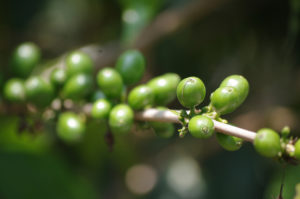 green-coffee-beans-branch